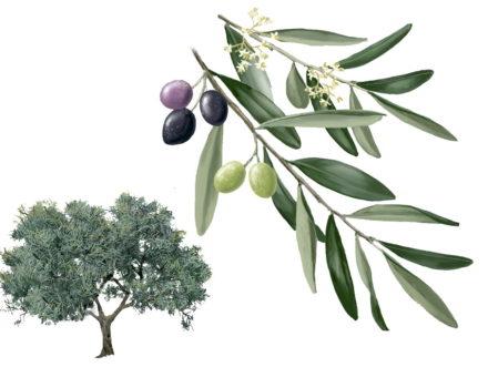 Ruta del ordeño del olivo a Valdelageve